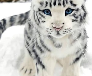 animal, white tiger, and cat image