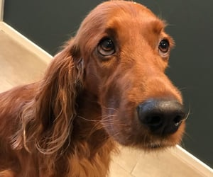 animals, setters, and dogs image