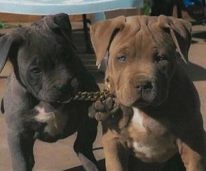 dog, puppy, and pitbull image