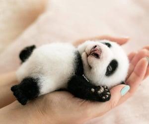 baby panda sleeping image