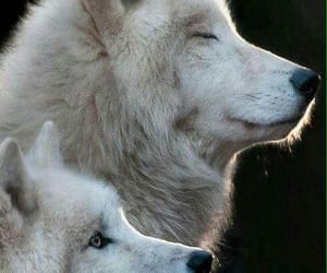 animals, wolves, and wolf image