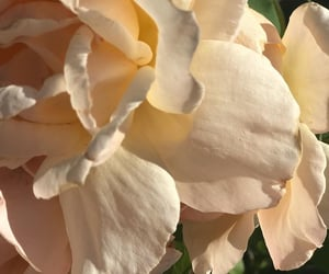 creamy, flowers, and petals image
