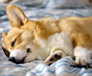 corgi, dog, and puppy image