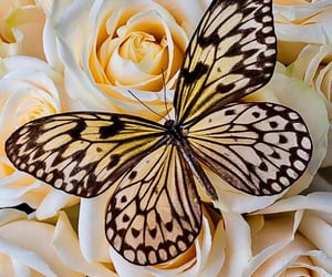 butterfly, roses, and yellow image