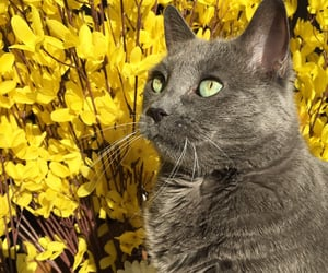 animals, gray cat, and yellow flowers image