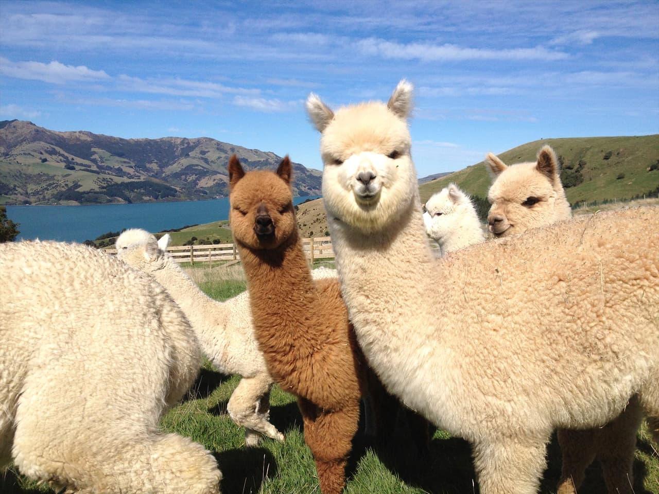 alpaca, animal, and creme image