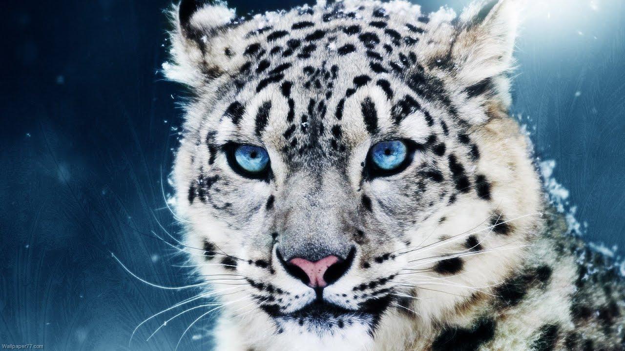 blue eyes, cat, and wild image