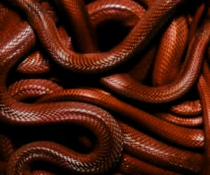 red and snake image