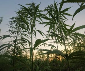 cannabis industrial and cannabis mexico image