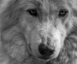 animals, winter, and wolves image