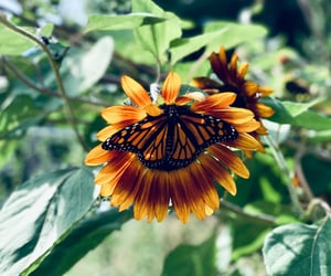 butterfly, flower, and sunflower image