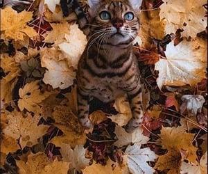 autumn, blue eyes, and cat image
