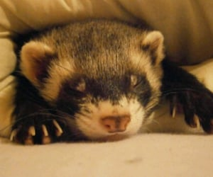 adorable, animals, and ferrets image