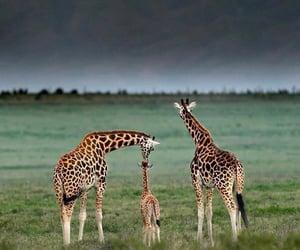giraffes and cute image