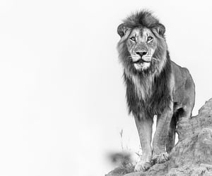 animals, king, and lion image