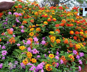 flower and Lantana image