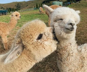 alpaca, animal, and love image