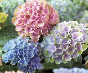 flowers, hydrangea, and blue image