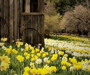 flowers, daffodils, and nature image