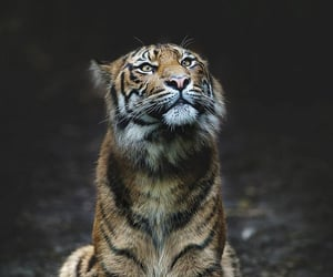 animal, tiger, and cat image