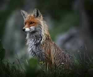 Animales, zorro, and fox image