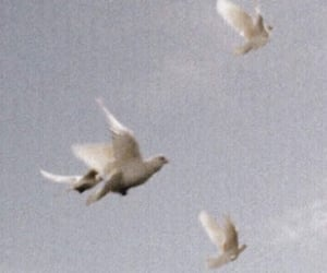 bird, aesthetic, and dove image