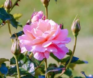 beautiful, flowers, and роза image