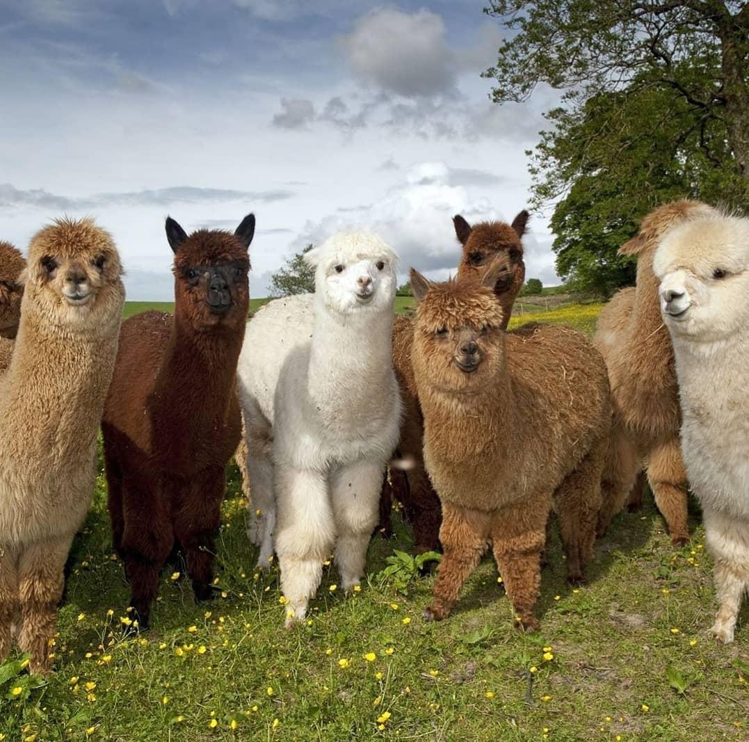 animal and lama image