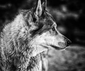 photo, wolf, and wolves image