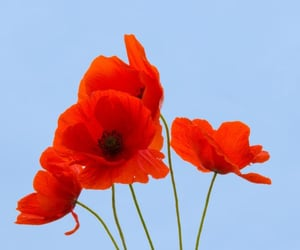blue, flower, and poppy image