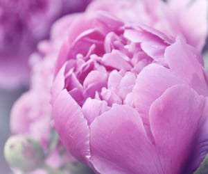 flowers and пионы image