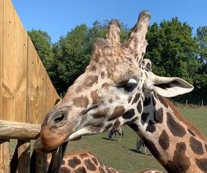 amazing, giraf, and animals image