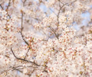 cherry blossoms, sakura, and flowers image