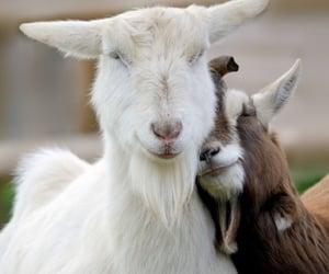 goat lovin', affectionate animals, and capable of bonding image