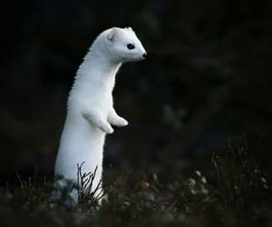 aesthetic, animal, and ferret image