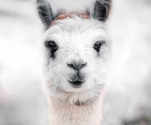 alpaca, angel, and animals image