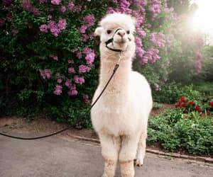alpaca, animals, and flowers image