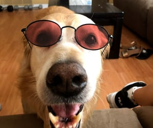 dog, golden retriever, and sunglasses image