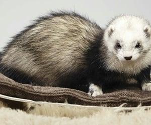 animals, animales, and ferret image