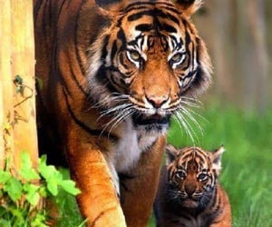 tigers, tiger, and beauty image