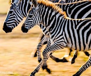 animals, striped, and stripes image