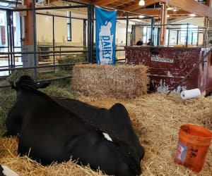 animal, black, and dairy image
