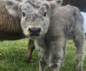 animals, beautiful, and calf image