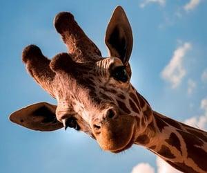 animals, giraffe, and inspiration image