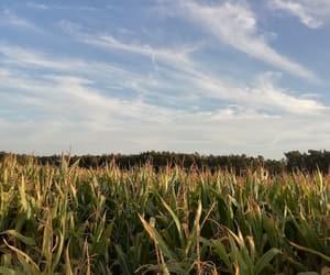 corn, field, and summernights image