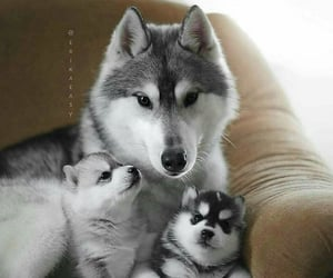 alaska, huskies, and bebes image