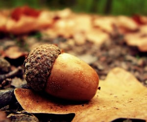 autumn, acorn, and leaves image