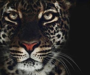 animals, eyes, and leopardo image