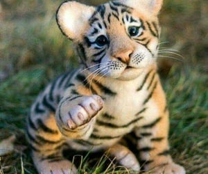 animals, tenderness, and tigre image