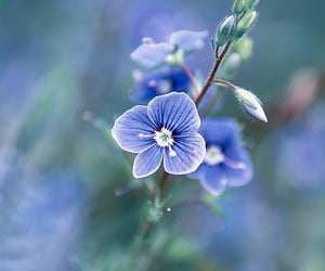 blue, flora, and flower image